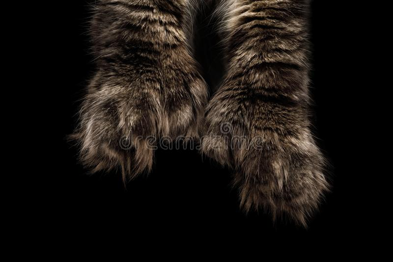 Huge Maine Coon paws Isolated on Black Background royalty free stock photos