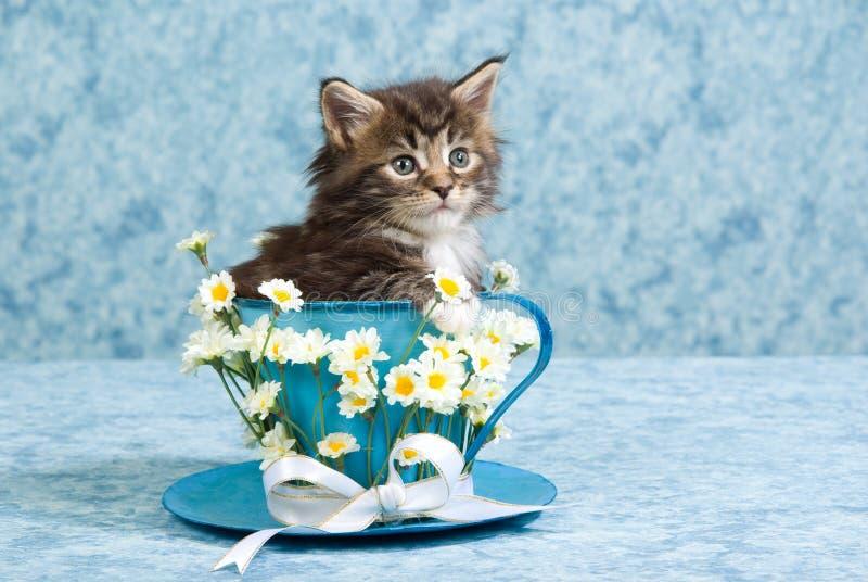 maine för gullig kattunge för coonkopp stor tea royaltyfria foton