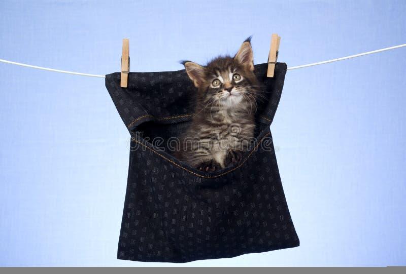 maine för kattunge för påsecoon gullig inre pinne royaltyfri foto