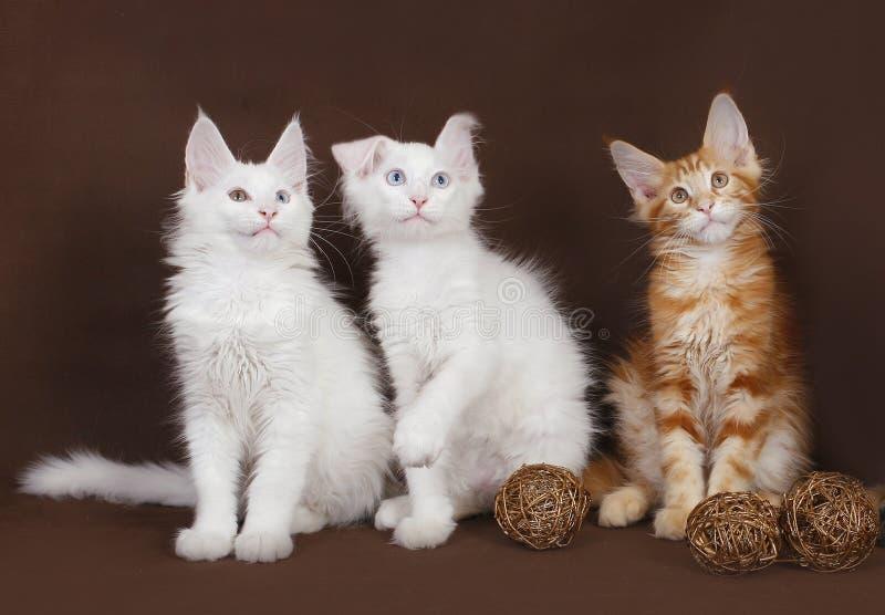 Maine för tre kattungar Coon royaltyfri fotografi