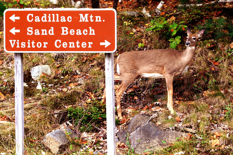 Maine jeleni whitetail obraz royalty free