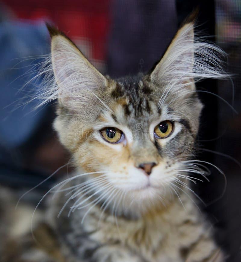 Maine - le chat de ragondin, colorent bringé brun photographie stock