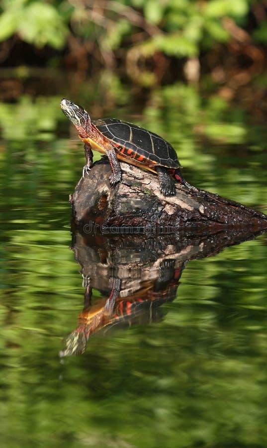 maine reflexionssköldpadda royaltyfri foto