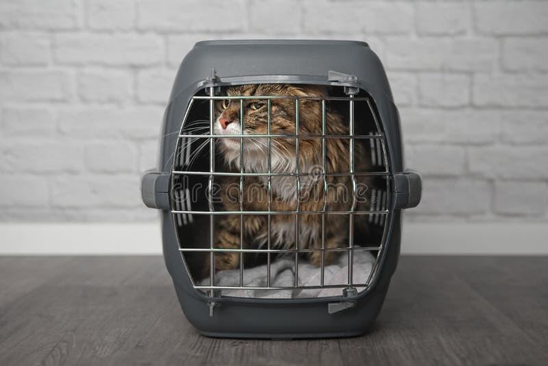 Maine-wasbeerkat binnen een gesloten doos van de kattendrager royalty-vrije stock afbeeldingen
