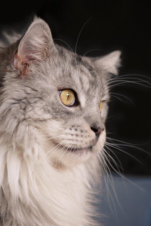 Maine-Waschbär Stammbaumkatze stockbilder