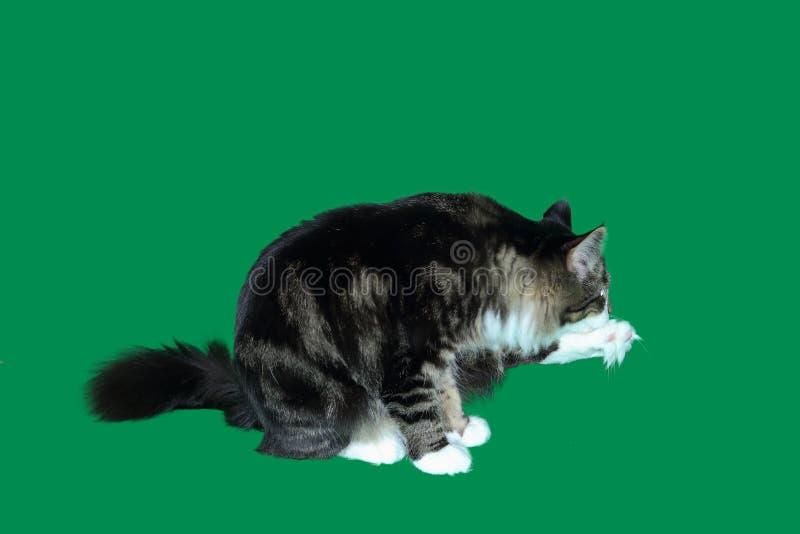 Maine-Waschbärkatzenschwarzes, das Weiß, langhaarig, getigerte Katze wäscht sein Hinterbein, das mit Büscheln des Haares auf eine lizenzfreies stockbild