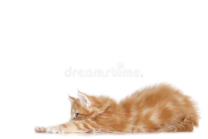 Mainecoon小猫舒展 免版税库存图片