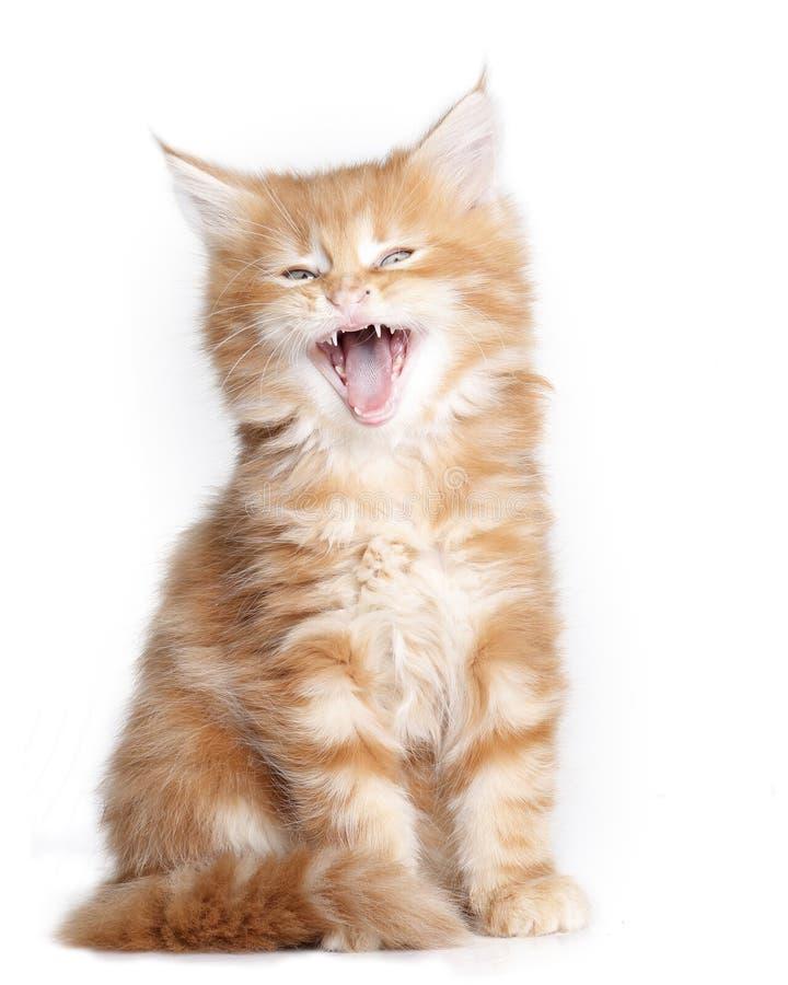 Mainecoon小猫 免版税库存照片