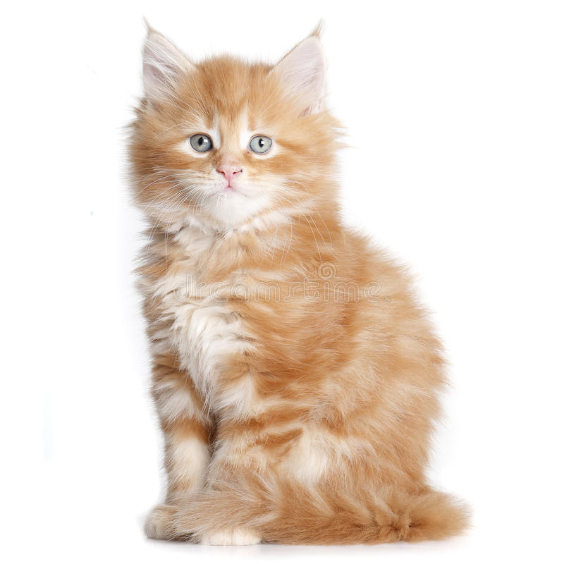Mainecoon-Kätzchen lizenzfreie stockfotos