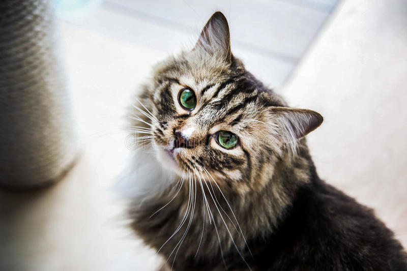 Mainecoon looking up royalty free stock images