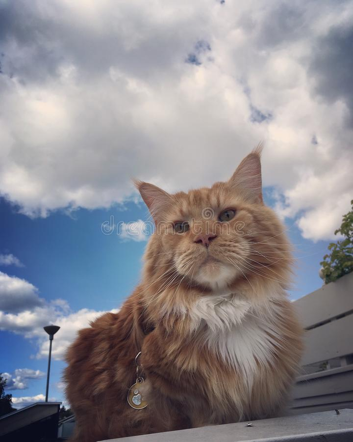 Mainecoon redcats ginger cat pet sky royalty free stock photo