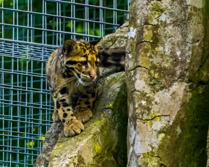 Mainland clouded leopard walking on a rock in closeup, wild cat from the himalayas. A mainland clouded leopard walking on a rock in closeup, wild cat from the royalty free stock photography