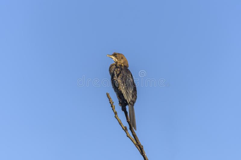 Mainland Great Cormorant, Phalacrocorax carbo sinensis on the branch, in natural habitats. Bird watching in Nature Reserve, Hula. Mainland Great Cormorant royalty free stock photography