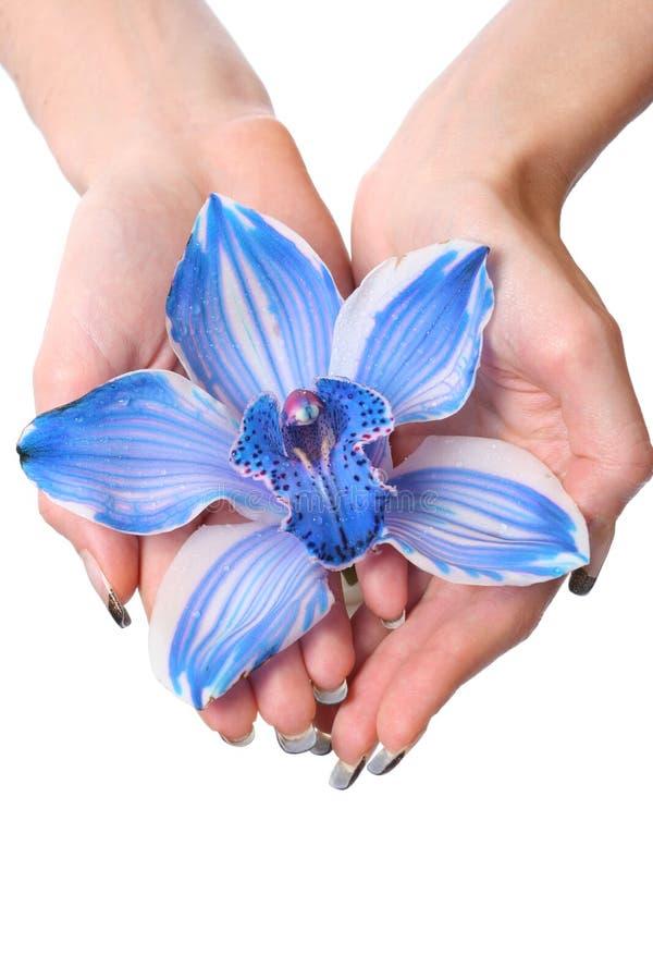 Mains avec l'ogchid bleu image stock