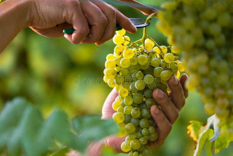 Mains coupant les raisins blancs des vignes images stock