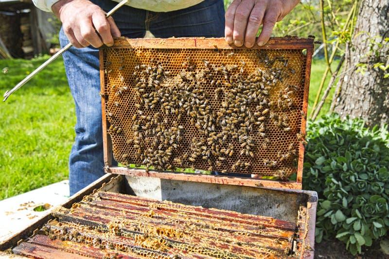 Mains d'apiculteur tenant un nid d'abeilles complètement des abeilles dans les vêtements de travail protecteurs inspectant le cad images libres de droits