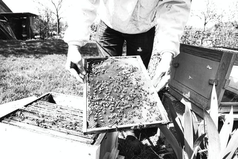 Mains d'apiculteur tenant un nid d'abeilles compl?tement des abeilles dans les v?tements de travail protecteurs inspectant le cad photos stock