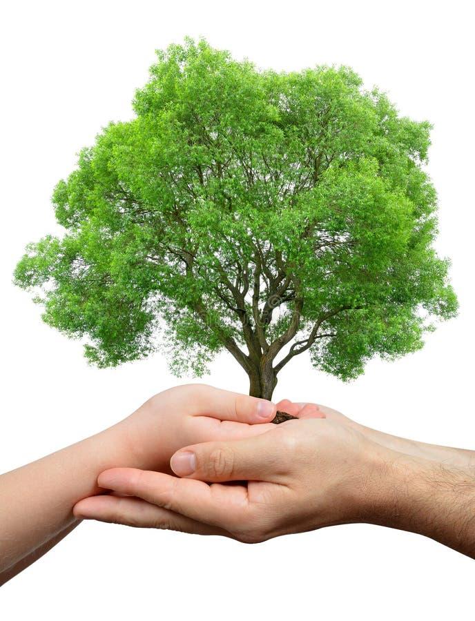 Mains d'enfant et de mâle tenant un arbre photographie stock