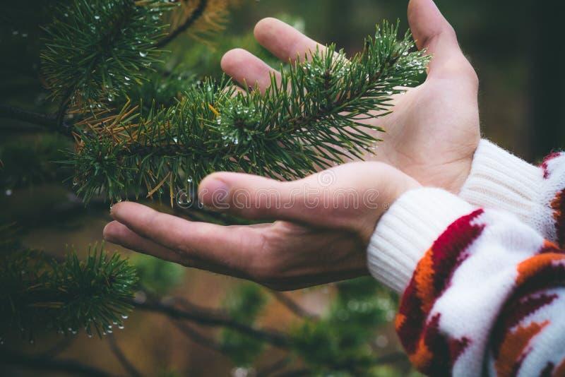 Mains d'homme tenant la branche d'arbre de sapin dans le mode de vie de voyage de forêt images libres de droits