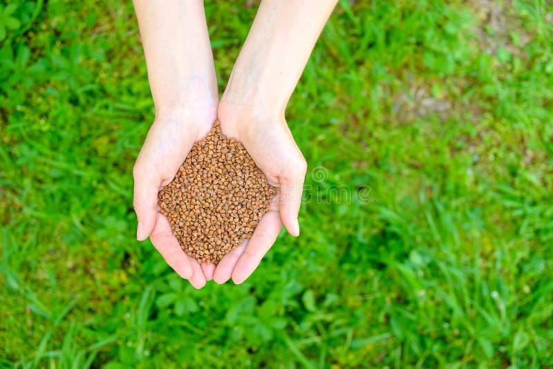 Mains de femme avec le tas du sarrasin sur le fond d'herbe verte photographie stock