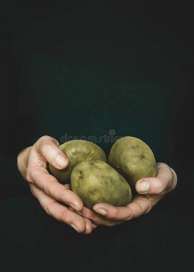 Mains de femme tenant des pommes de terre photographie stock
