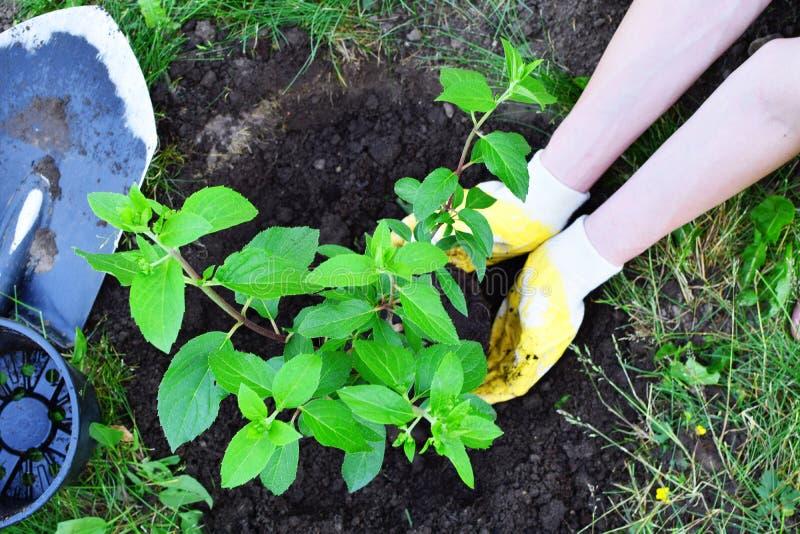 Mains de jardinier plantant le buisson photo libre de droits