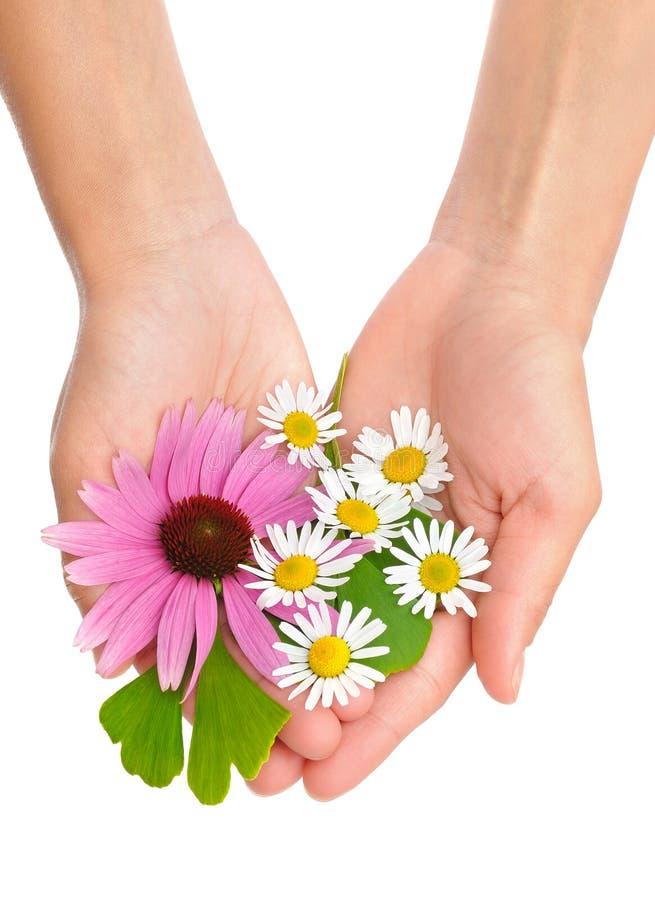 Mains des herbes de fixation de jeune femme image stock