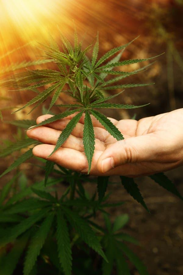 Mains en gros plan de l'homme tenant des feuilles d'usine de chanvre Légalisation de cannabis, marijuana, herbes Une feuille de m photo stock