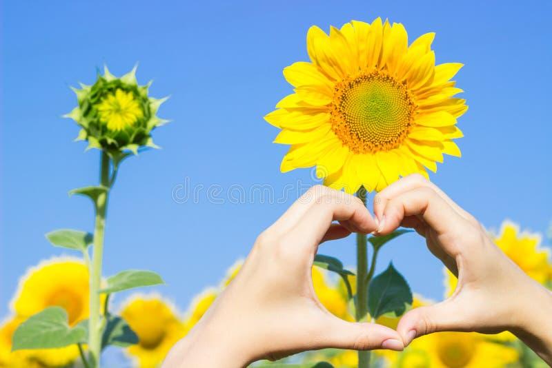 Mains faisant le symbole de coeur dans un domaine des tournesols images stock