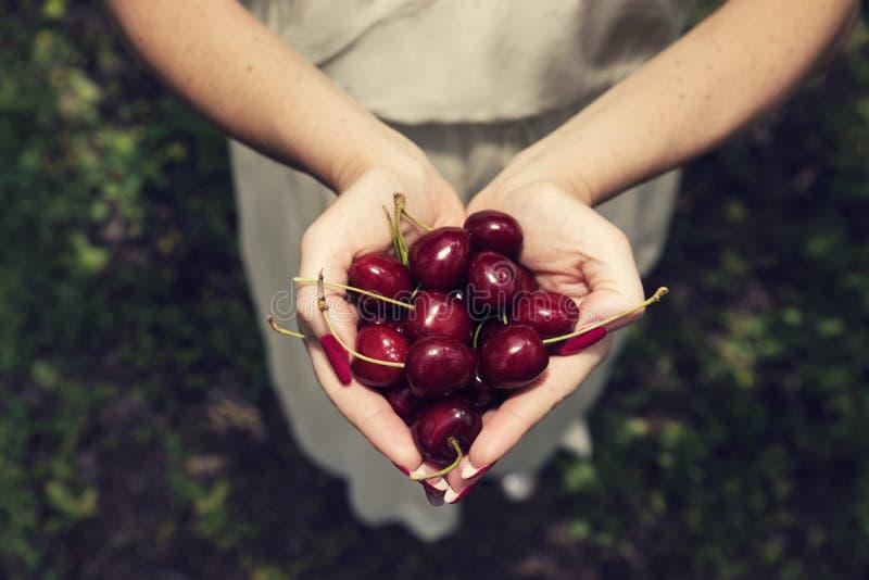 Mains femelles avec la manucure rouge pleine avec les cerises mûres dans le verger photo libre de droits