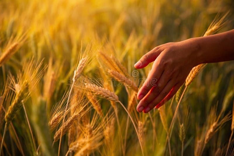 Mains frottant le contact de la jeune femme qui a mûri le blé quand le soleil a placé au fond image stock