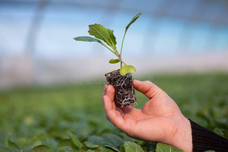 Mains humaines tenant la jeune usine avec le sol au-dessus du fond brouillé de nature La jeune plante de CSR de jour d'environnem photographie stock