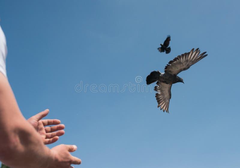 Mains masculines déchargeant deux colombes ou pigeons dans le ciel image symbolique de la liberté, de la libération, et de l'égal photo stock
