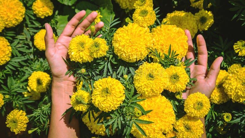 Mains qui tiennent le calendula de fleurs Jardin d'agr?ment jaune photos stock