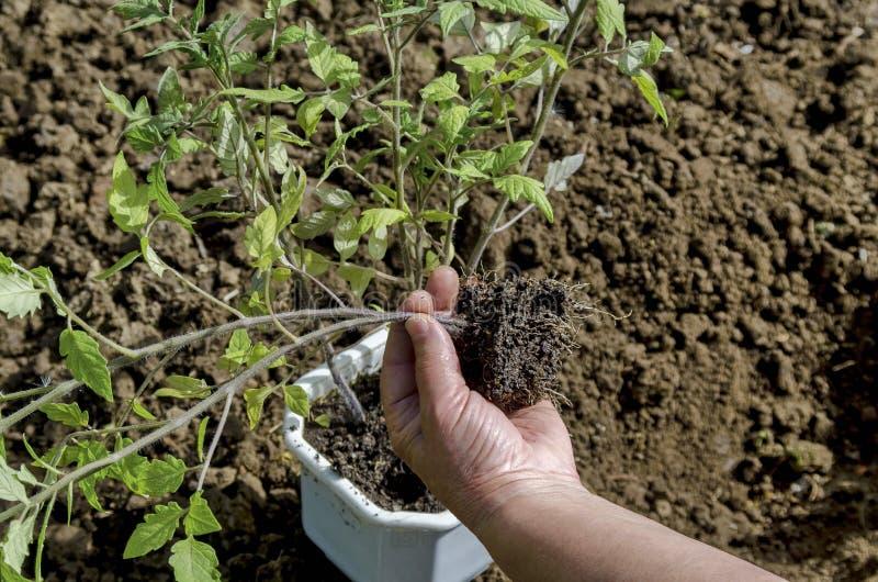 Mains retenant des plantes photographie stock