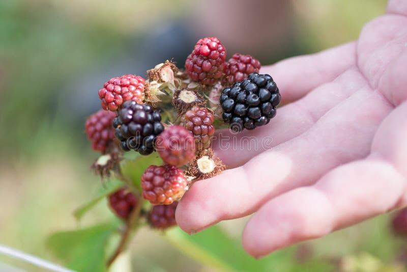 Mains sélectionnant des mûres pendant la saison principale de récolte photographie stock