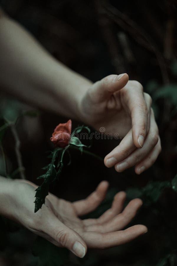 Mains saisissant une rose congelée photos stock