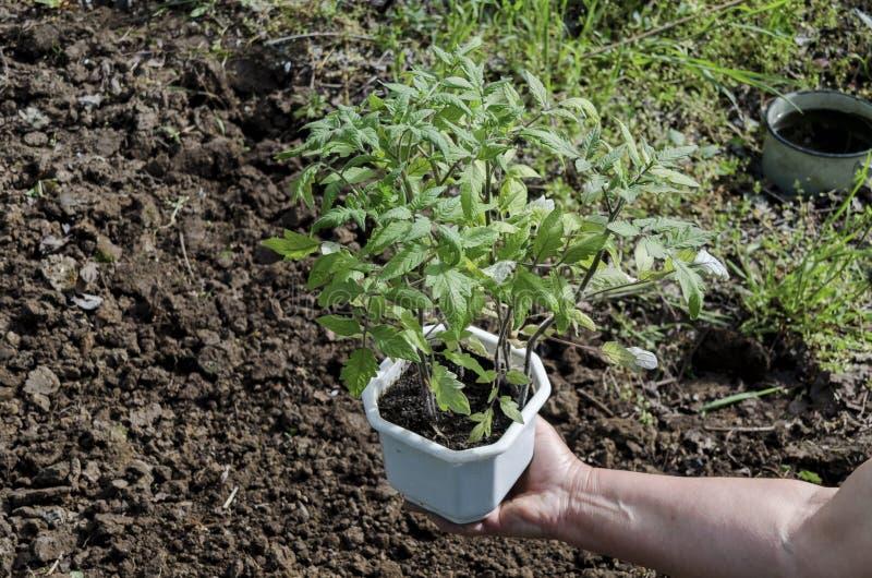 Mains tenant des jeunes plantes dans le pot images stock