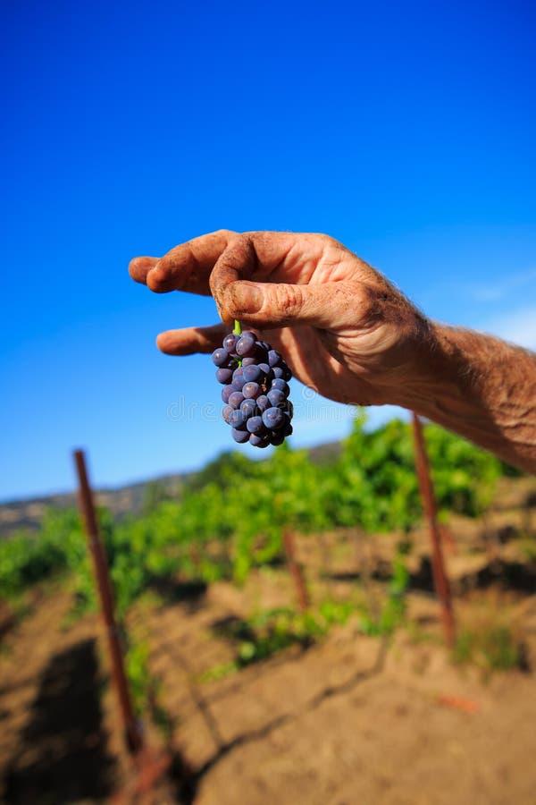 Mains tenant des raisins de cuve photos stock