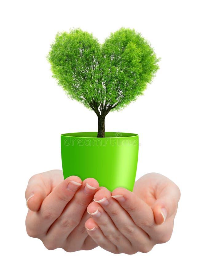 Mains tenant l'arbre au coeur de forme dans le pot image libre de droits