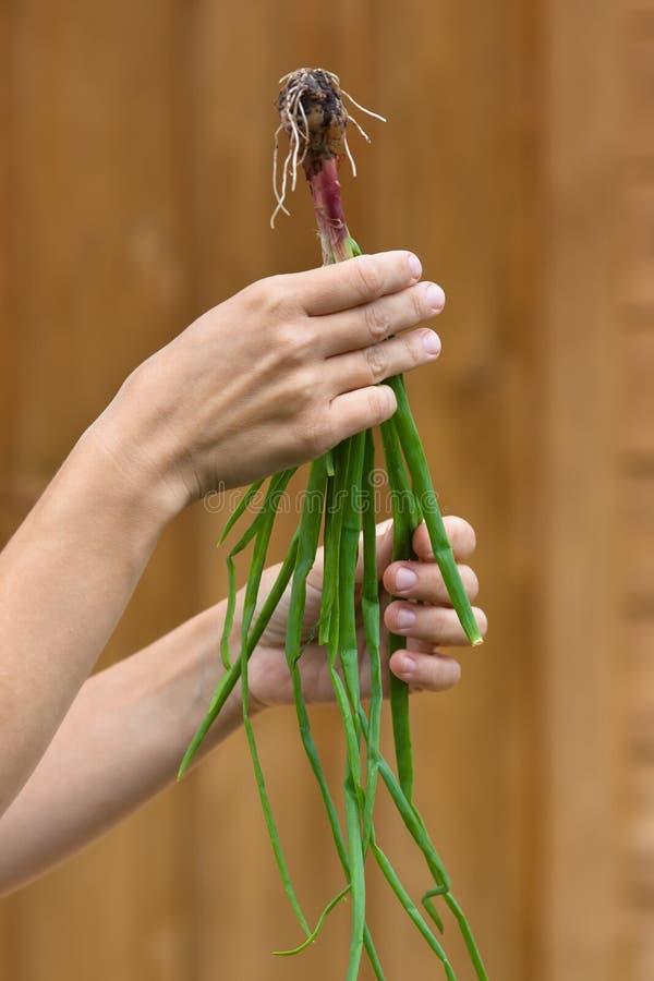 Download Mains tenant l'oignon vert image stock. Image du végétarien - 87708105