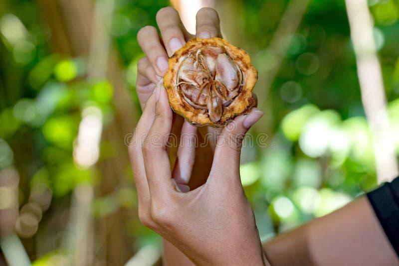 Mains tenant le détail frais de fruit de cacao image libre de droits