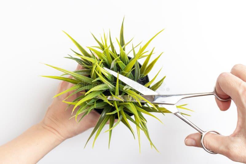 Mains tenant un pot de fleurs et coupant une usine avec des ciseaux, concept de jardinage minimalistic photo stock