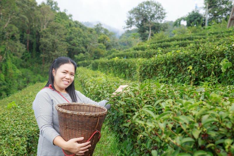 Maintenez les feuilles de thé dans la plantation photographie stock libre de droits