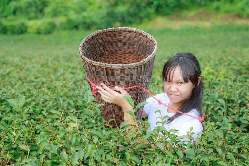Maintenez les feuilles de thé dans la plantation photo stock