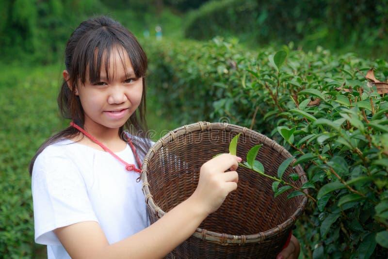 Maintenez les feuilles de thé dans la plantation images stock