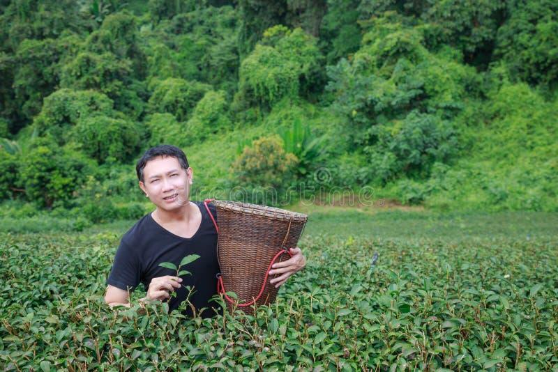 Maintenez les feuilles de thé dans la plantation photo libre de droits