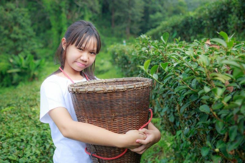 Maintenez les feuilles de thé dans la plantation image stock