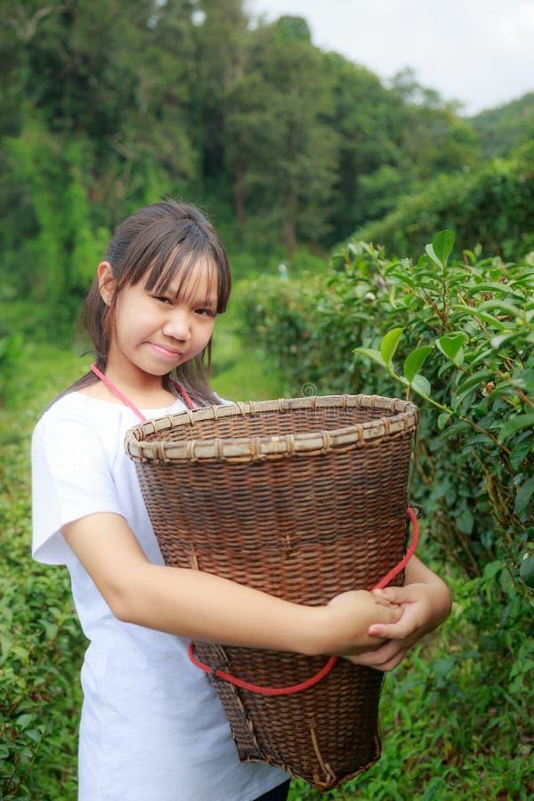 Maintenez les feuilles de thé dans la plantation photos stock