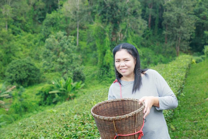 Maintenez les feuilles de thé dans la plantation images libres de droits